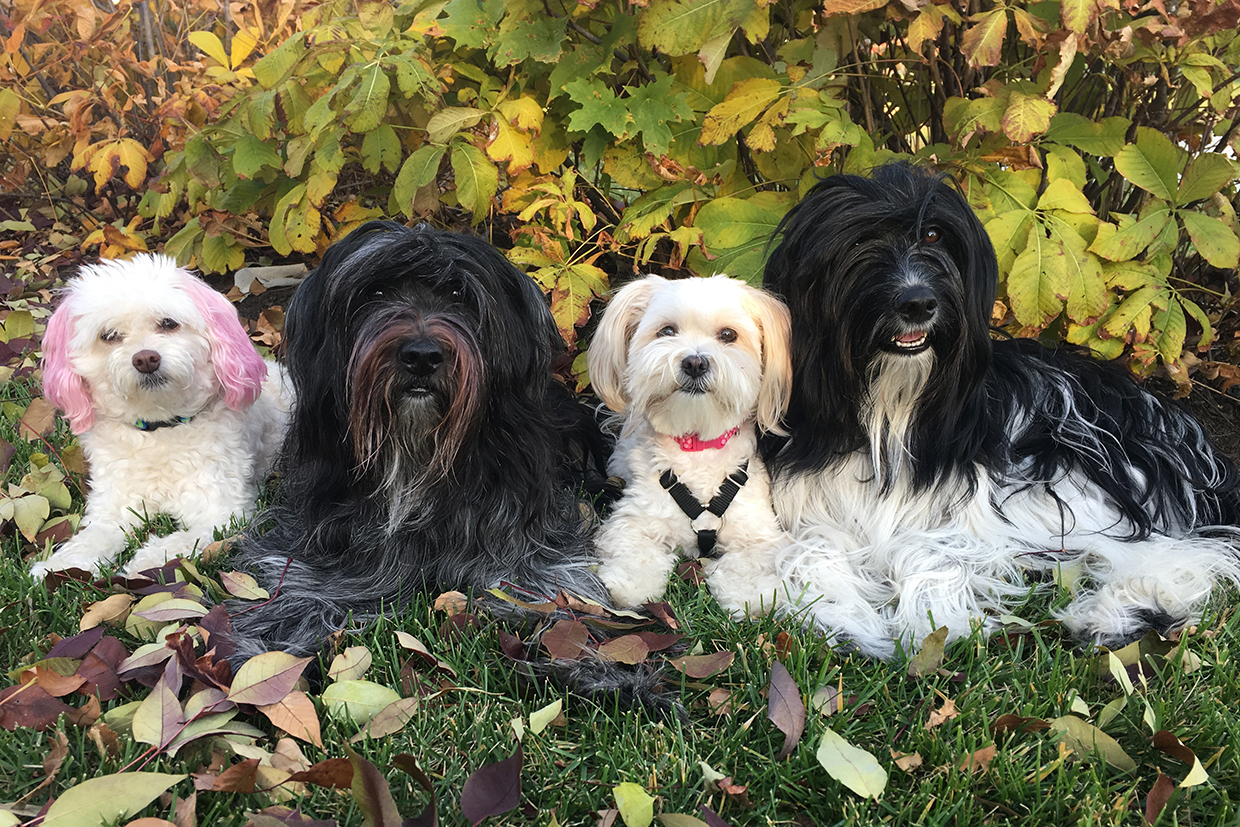 photo shows Schapendoes Shady & Zing with their little blonde dog friends Jazzy & Nippet